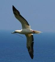 Sula bird (© 2006 Lynn Weinert)